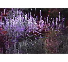Lavender Reflections Photographic Print
