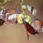Orange Tiger Butterflies, Litchfield NP, Northern Territory, Australia by Adrian Paul
