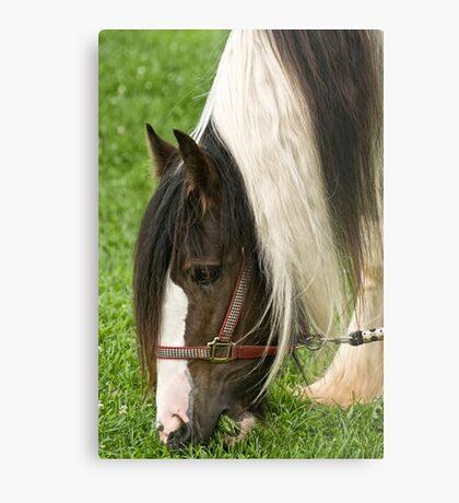 Gypsy Vanner Horse Metal Print