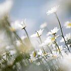 Wild Summer Daisies by friendlydragon