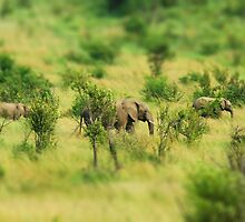 lady elephant walk, pilanesburg by mellychan