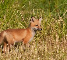Red Fox -Vulpes vulpes by Tracey  Dryka