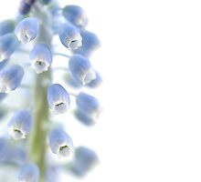 Grape Hyacinth by friendlydragon