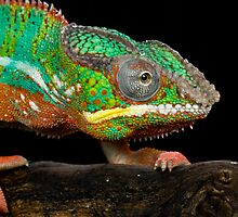 The colourful chameleon by Angi Wallace