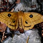 Butterfly, Aglia Tau  by itchingink