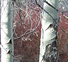 Aspens and Red Osier Dogwood by BettyEDuncan
