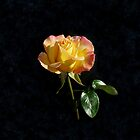 Rose on Black by wippapics