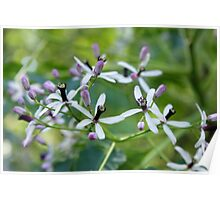 Chinaberry Flowers Poster