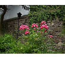 Pink Roses in the Garden of Casa Santa Domingo Photographic Print