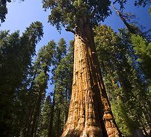 The Largest Tree in the World by Adam Bykowski