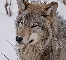 Timber Wolf by Tracey  Dryka