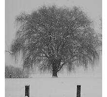 Weeping Willow in Snow  Photographic Print