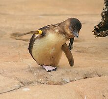 Fairy Penguin  by klphotographics