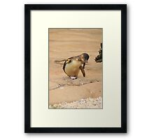 Fairy Penguin  Framed Print
