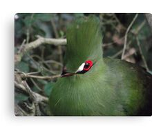 Green Turaco, south Africa Canvas Print