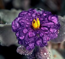 198208190047 Purple flower yellow centre Sullivans by Fred Mitchell