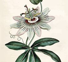 The Botanical magazine, or, Flower garden displayed by William Curtis V1 V2 1787 1789 0064 Passiflora Coerulea, Common Passion Flower by wetdryvac