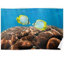 Tropical fish Spotfin Butterflyfish with coral Poster