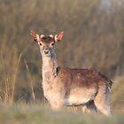 Fallow deer - 6016 by DutchLumix