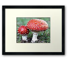 Fly Agaric fungi in my garden - April 30, 2010 - Gippsland, Vic Framed Print