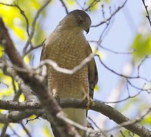 Cooper's Hawk by Dennis Cheeseman