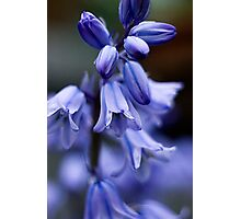 Hyacinthoides hispanica Photographic Print