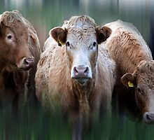 Moo you lookin' at  by Raymond Kerr
