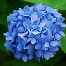 Hydrangea ~ 'Endless Summer' by Marjorie Wallace