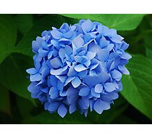 Hydrangea ~ 'Endless Summer' Photographic Print