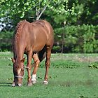 Brown horse grazing by mltrue