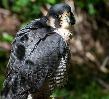 Peregrine Falcon by Joy Leong-Danen