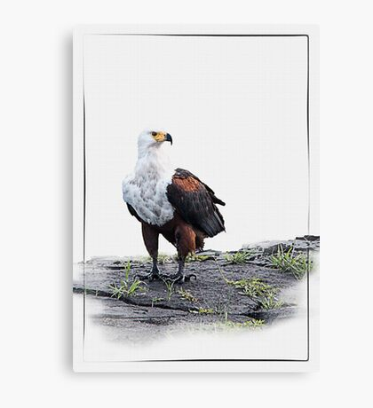African Fish Eagle on white background Canvas Print