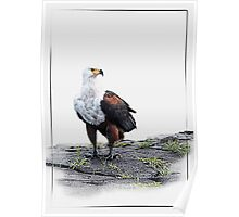 African Fish Eagle on white background Poster