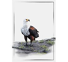 African Fish Eagle on white background Photographic Print