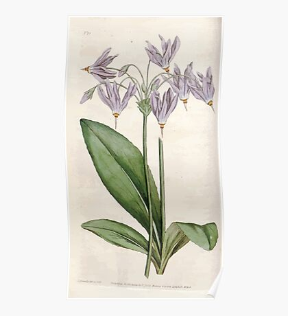 The Botanical magazine, or, Flower garden displayed by William Curtis V1 V2 1787 1789 0028 Dodecatheon Meadia, Mead's Dodecatheon or American Cowslip Poster