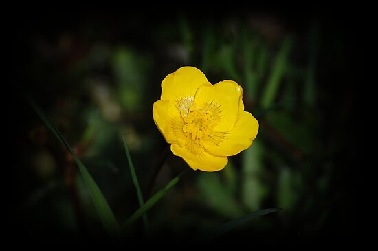 Yellow Buttercup  by Jonice