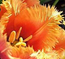 Tulip With A Fringe On Top by naturelover