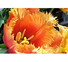 Tulip With A Fringe On Top Photographic Print