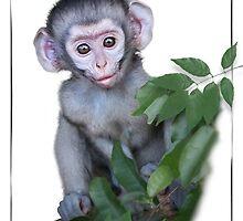 Vervet Monkey baby on white background by RonelBroderick