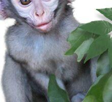Vervet Monkey baby on white background Sticker