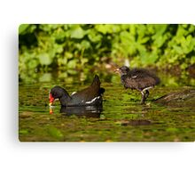 Moorhen and chick Canvas Print