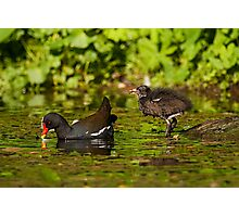 Moorhen and chick Photographic Print
