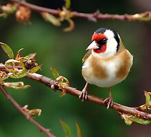 goldfinch theres gold in the garden by Grandalf