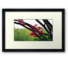Japanese Red Maple Framed Print
