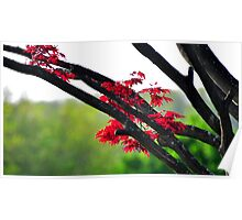 Japanese Red Maple Poster