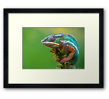 Panther chameleon outside Framed Print