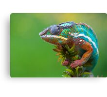 Panther chameleon outside Canvas Print