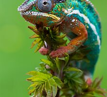The chameleon by Angi Wallace
