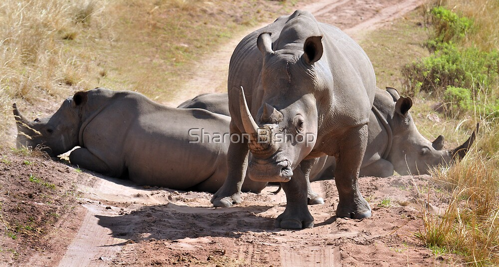 Stand off at Gwahumbe reserve, Kwazulu Natal, South Africa by Sharon Bishop