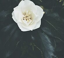 Camellia by HDodson